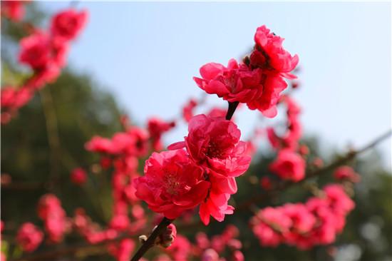 环江:桃花朵朵开  游客踏春来