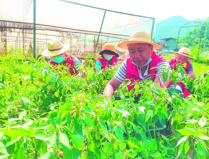 鹤峰县新时代文明实践中心志愿者帮村民采摘销售辣椒