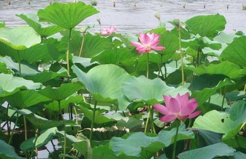 大明湖,是济南三大名胜之一
