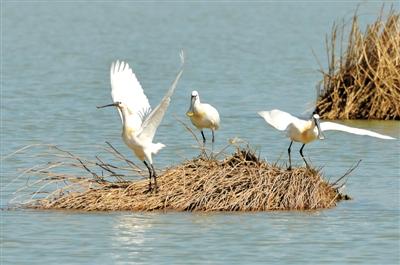 3只国家二级重点保护野生动物白琵鹭在银川阅海国家